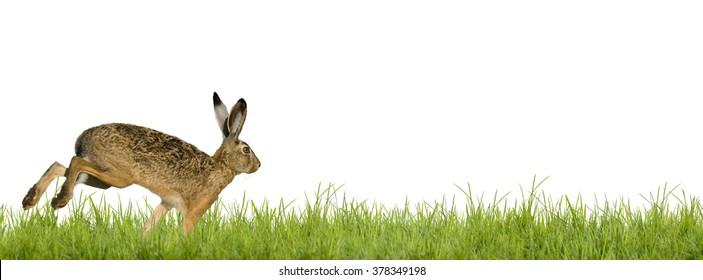 Easter bunny rabbit running across meadow