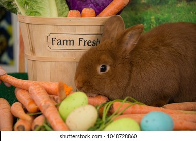 Easter bunny red Thrianta rabbit with farm fresh carrots and colored Easter eggs