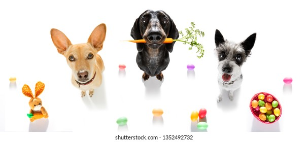 easter bunny team couple of dogs in a row with basket and eggs isolated on white background for the holiday season