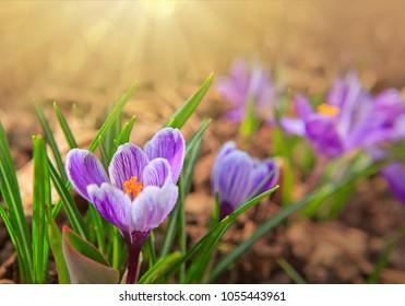 Easter card. Purple crocuses and sunlight.