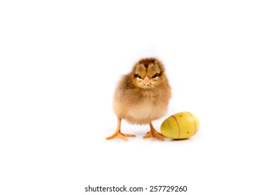 Easter Chicken, Easter Eggs, Easter card on white background isolated