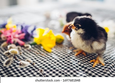 Easter chickens. Little black chicks walking among spring flowers and Easter eggs. Friendly family. Spring holiday