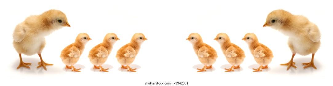 easter concept - chicks on white