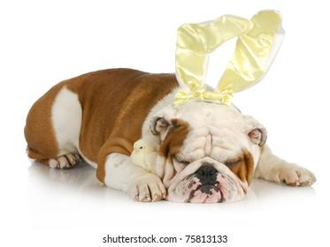 easter dog - english bulldog bunny with chicks on white background