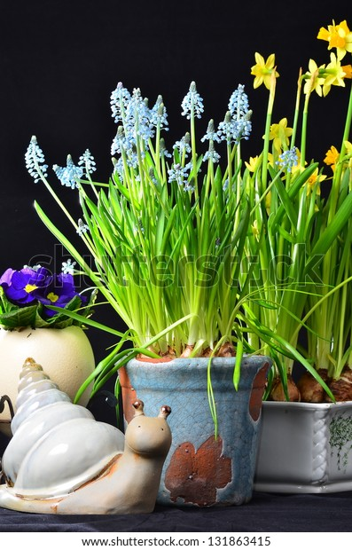 Easter flowers daffodil muscari and snail on black