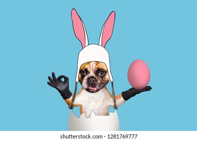 Easter French bulldog in bunny costume sitting in the shell of an egg and holding a painted egg on an isolated background