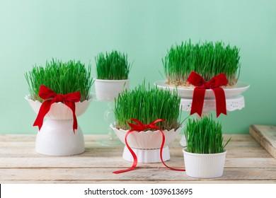 Easter green wheat grass in small various sizes, Novruz spring celebration nature awakening symbol, fresh green grains sprouting in white bowls on wooden table, semeni Azerbaijan, Persian nowruz sabzi