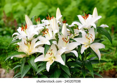Easter lilies outside in a garden during the spring season.
