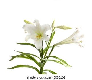 Easter Lily Isolated on White