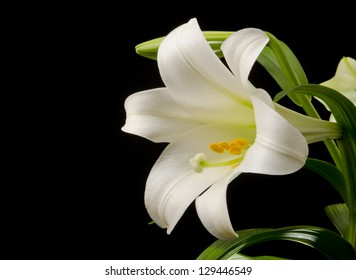 Easter lily with a large blossom on a black background