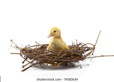 Easter little duck looking cute, sitting in a nest from branches on a white background, Spring Image.