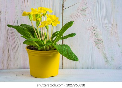 Easter or spring concept with yellow primrose flower in yellow pot on white paint wooden background with copy space