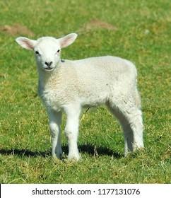 Easter Spring Lamb In Scotland