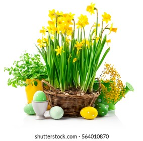 Easter still life with eggs and spring blossom yellow narcissus branch mimosa. Isolated on white background.