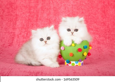 Easter theme Chinchilla kitten sitting next to green easter egg decorated with pom pom against cerise pink background