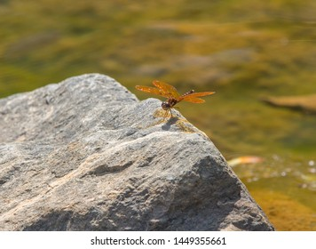 An eastern amberwing dragonfly perched on a rock in bright sunlight.
