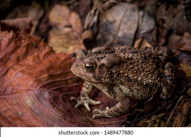 Eastern American Toad sitting on dry leaves sticks near wood pile left side view with cranial crests and parotoid glands visible horizontal photo macro close-up detail, Bufo or anaxyrus americanus