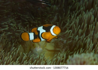 Eastern Anemonefish Amphiprion percula
