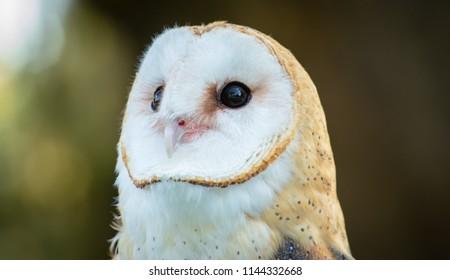 An Eastern Barn Owl emerges before nightfall to hunt prey.
