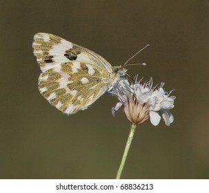 An Eastern bath white butterfly (Pontia edusa) sucking nectar from a flower.