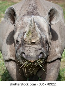 Eastern Black Rhinoceros eating grass