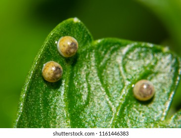 Eastern Black Swallowtail butterfly eggs on a parsley leaf, ready to eclose, with tiny caterpillars visible through the shell