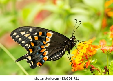 Eastern Black Swallowtail butterfly feeding on a yellow and orange lantana flower in summer garden, ventral view