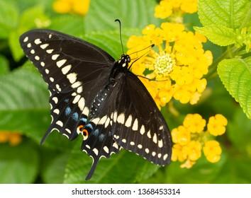 Eastern Black Swallowtail butterfly feeding on a yellow Lantana flower cluster