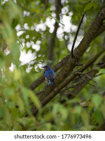 Eastern bluebird in Brighton Michigan
