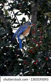 An Eastern Bluebird  eating holly berries.