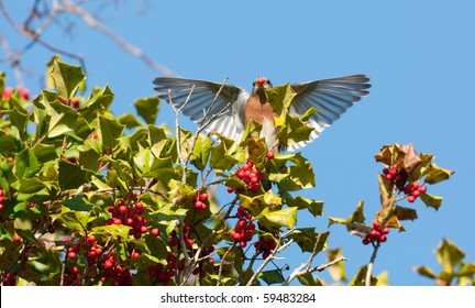 An Eastern Bluebird Flaps Its Wings While Sitting In Holly Tree