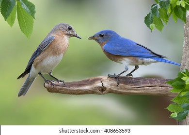 Eastern Bluebird Male and Female on Branch
