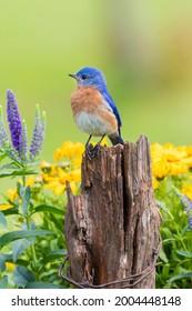 Eastern bluebird male on fence post near flower garden Marion County, Illinois