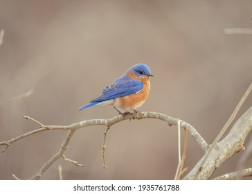 Eastern bluebird on a branch at a park