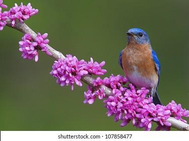 Eastern Bluebird on Flowering Eastern Redbud Branch, horizontal format