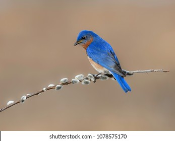Eastern Bluebird Perched on Pussy Willow Branch
