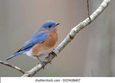 Eastern Bluebird Perched on Tree Branch