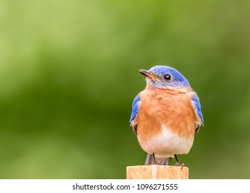Eastern Bluebird, Sialia sialis, male perched with simple green background room for text
