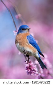 Eastern Bluebird (Sialia sialis) male in Eastern Redbud (Cercis canadensis) in spring, Marion, Illinois, USA.