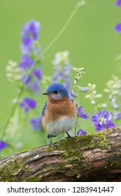 Eastern Bluebird (Sialia Sialis) male in flower garden, Marion County, IL