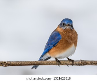 Eastern Bluebird (Sialia sialis) male perched in February with snow on the ground