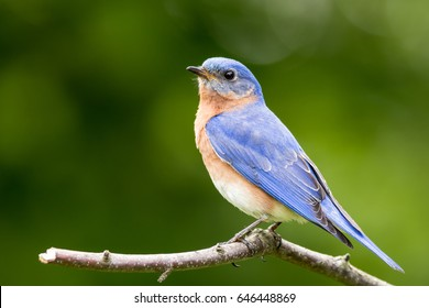 Eastern Bluebird (Sialia sialis) male perched on stump with green bokeh background