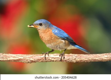 Eastern Bluebird (Sialia sialis) on a perch with flowers and worms