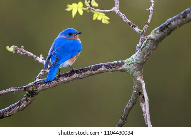 Eastern Bluebird (Sialia sialis) perched on a tree branch searching for food