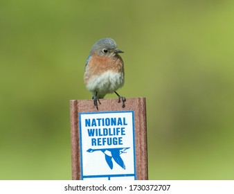 """Eastern bluebird (sialia sialis) perched on a """"National Wildlife Refuge"""" sign, against muted green background"""