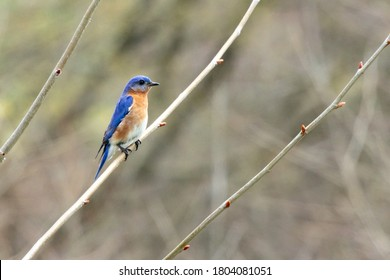 An Eastern Bluebird (Sialia sialis) Perches on a Branch at Stroud Preserve, Chester County, Pennsylvania, USA