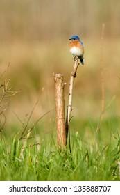 Eastern Bluebird (Sialia sialis) perching