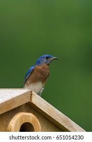 Eastern Bluebird sitting on bird house