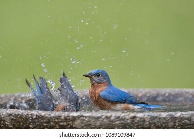 Eastern Bluebirds Splashing in Bird Bath in Louisiana Spring