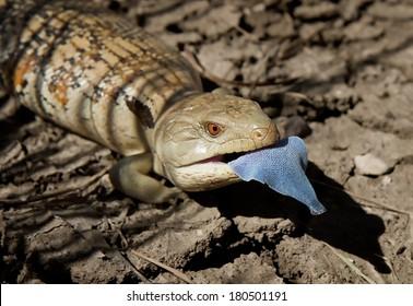 Eastern Blue-tongue lizard, Australia